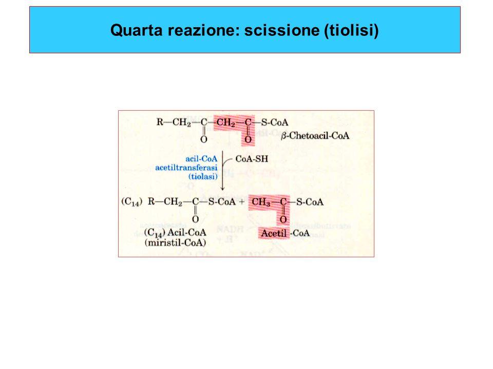 Quarta reazione: scissione (tiolisi)