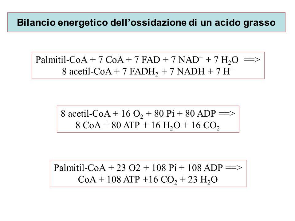 Bilancio energetico dell'ossidazione di un acido grasso Palmitil-CoA + 7 CoA + 7 FAD + 7 NAD + + 7 H 2 O ==> 8 acetil-CoA + 7 FADH 2 + 7 NADH + 7 H +