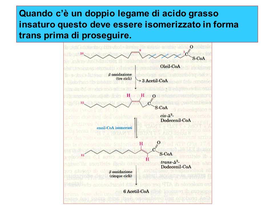 Quando c'è un doppio legame di acido grasso insaturo questo deve essere isomerizzato in forma trans prima di proseguire.