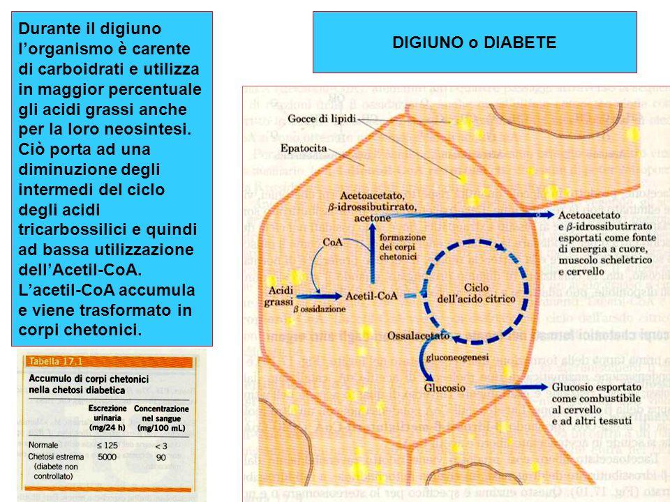 Durante il digiuno l'organismo è carente di carboidrati e utilizza in maggior percentuale gli acidi grassi anche per la loro neosintesi. Ciò porta ad