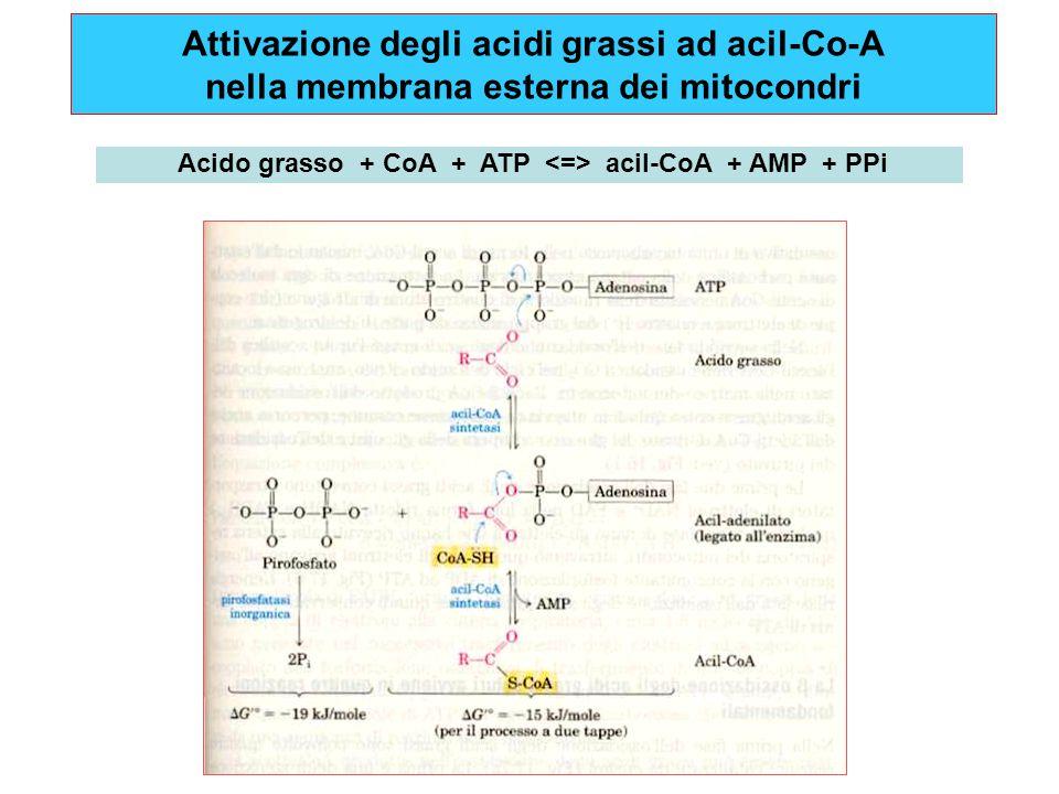 Attivazione degli acidi grassi ad acil-Co-A nella membrana esterna dei mitocondri Acido grasso + CoA + ATP acil-CoA + AMP + PPi
