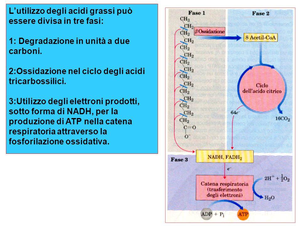 L'utilizzo degli acidi grassi può essere divisa in tre fasi: 1: Degradazione in unità a due carboni. 2:Ossidazione nel ciclo degli acidi tricarbossili