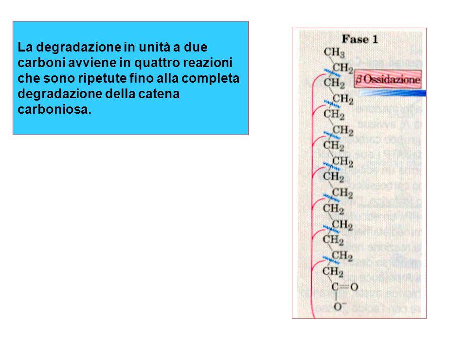 Nei tessuti periferici il b- idrossibutirrato viene riconvertito in acetoacetato e poi in acetil-CoA
