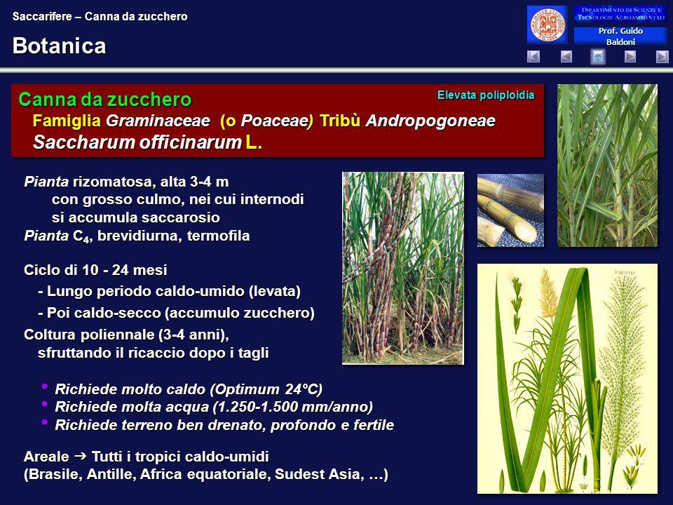 Prof. Guido Baldoni Prof. Guido BaldoniBotanica Canna da zucchero Famiglia Graminaceae (o Poaceae) Tribù Andropogoneae Saccharum officinarum L. Ciclo