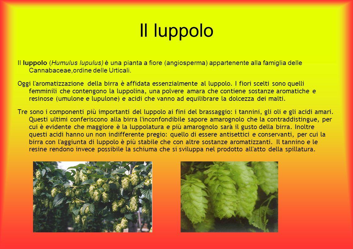 Il luppolo Il luppolo (Humulus lupulus) è una pianta a fiore (angiosperma) appartenente alla famiglia delle Cannabaceae,ordine delle Urticali. Oggi l'