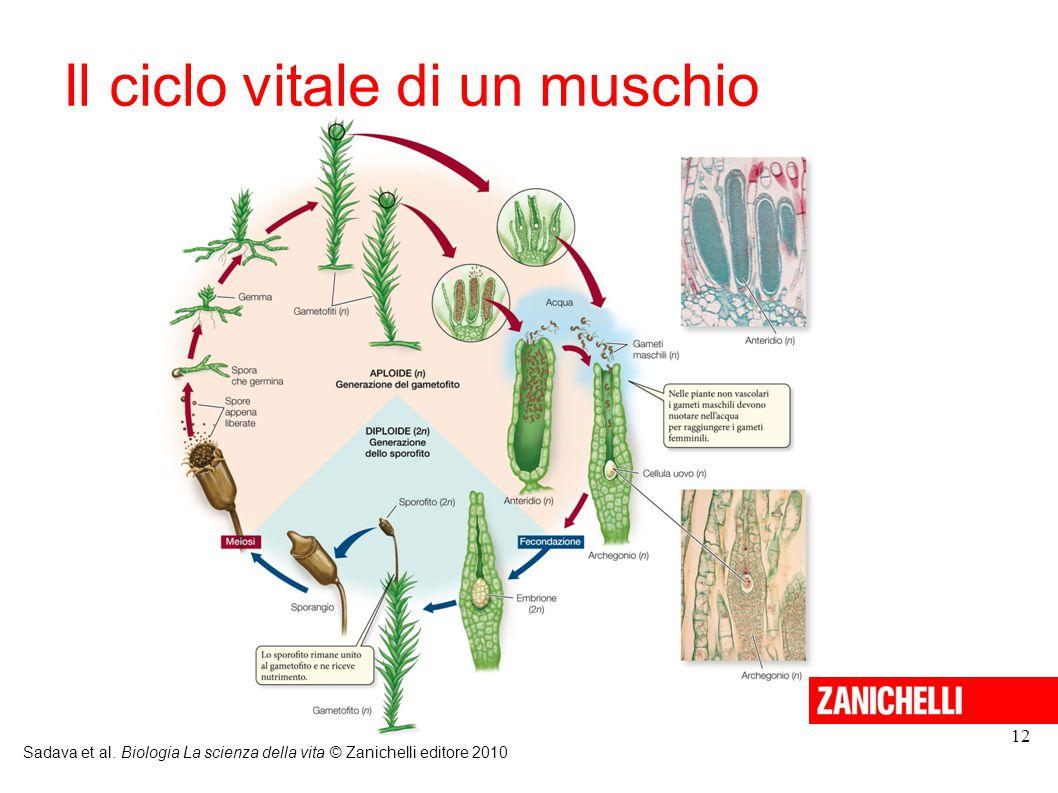 12 Il ciclo vitale di un muschio Sadava et al. Biologia La scienza della vita © Zanichelli editore 2010