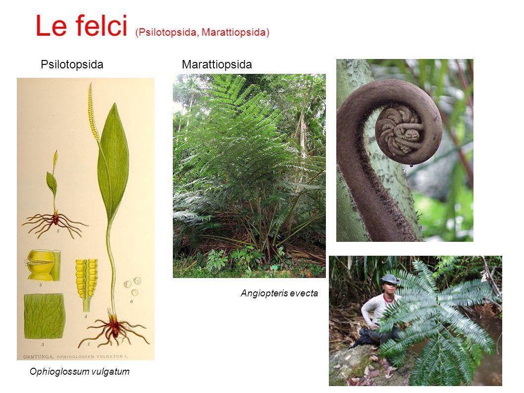 Psilotopsida Ophioglossum vulgatum Marattiopsida Angiopteris evecta Le felci (Psilotopsida, Marattiopsida)