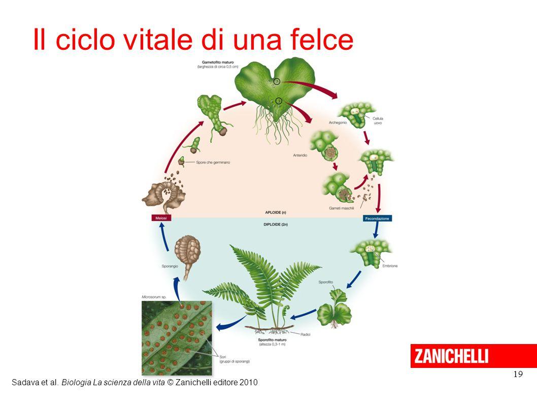 19 Il ciclo vitale di una felce Sadava et al. Biologia La scienza della vita © Zanichelli editore 2010