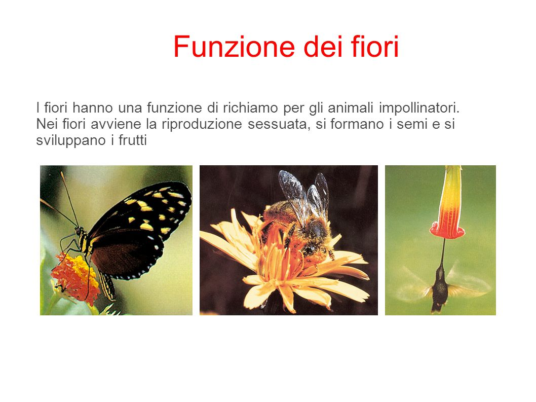 I fiori hanno una funzione di richiamo per gli animali impollinatori. Nei fiori avviene la riproduzione sessuata, si formano i semi e si sviluppano i
