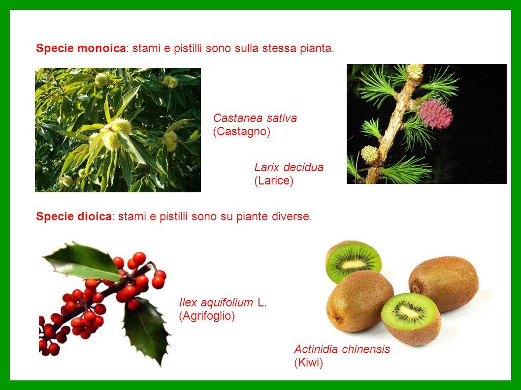 Specie monoica: stami e pistilli sono sulla stessa pianta. Specie dioica: stami e pistilli sono su piante diverse. Ilex aquifolium L. (Agrifoglio) Act