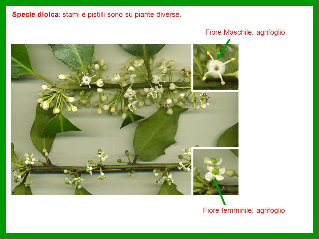 Fiore Maschile: agrifoglio Fiore femminile: agrifoglio Specie dioica: stami e pistilli sono su piante diverse.