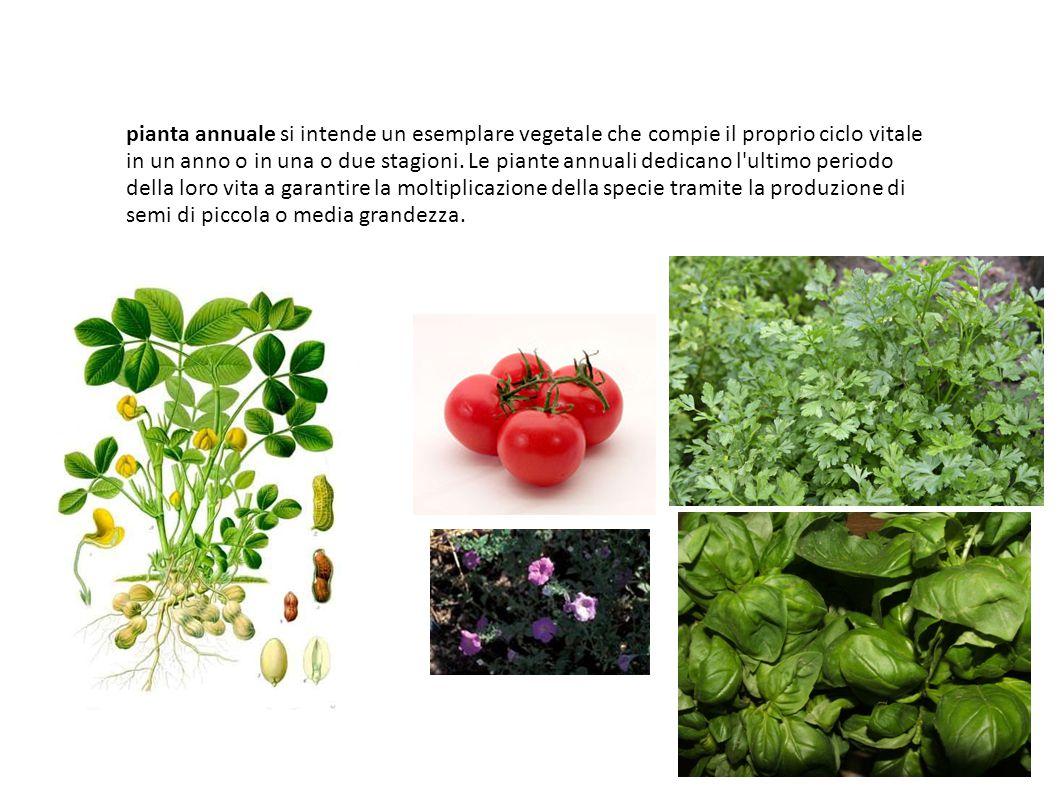 pianta annuale si intende un esemplare vegetale che compie il proprio ciclo vitale in un anno o in una o due stagioni. Le piante annuali dedicano l'ul