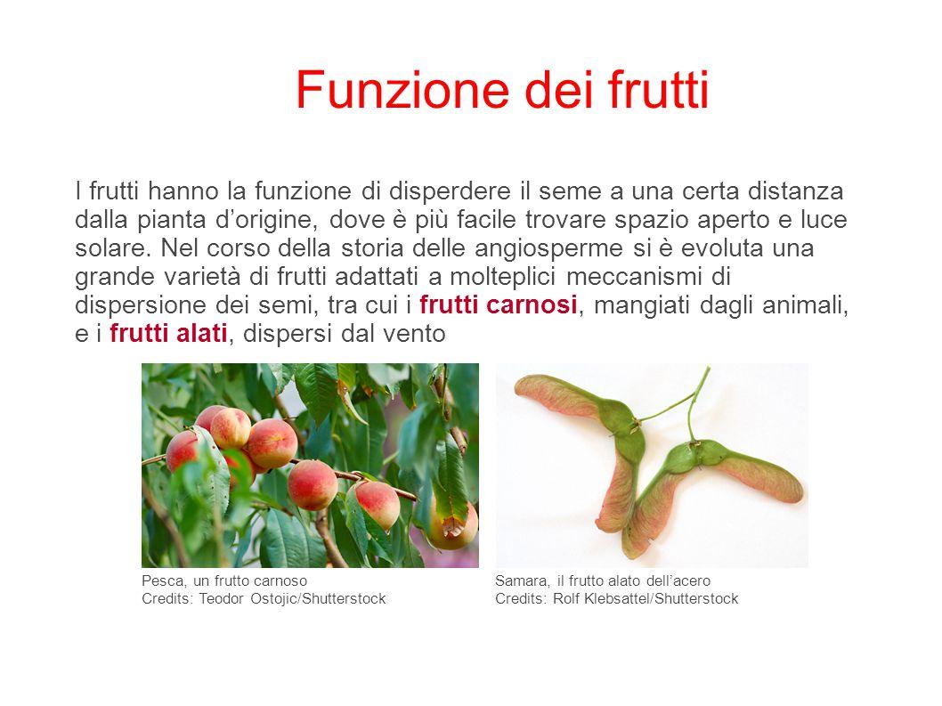 Funzione dei frutti I frutti hanno la funzione di disperdere il seme a una certa distanza dalla pianta d'origine, dove è più facile trovare spazio ape