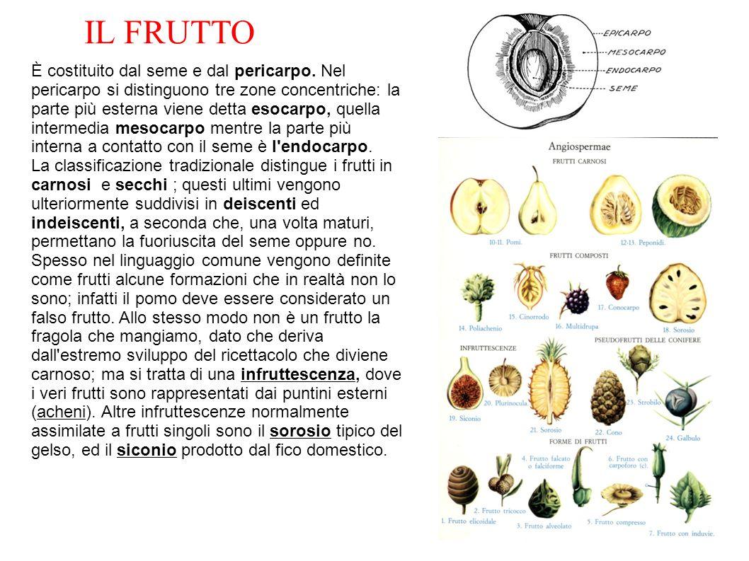 È costituito dal seme e dal pericarpo. Nel pericarpo si distinguono tre zone concentriche: la parte più esterna viene detta esocarpo, quella intermedi