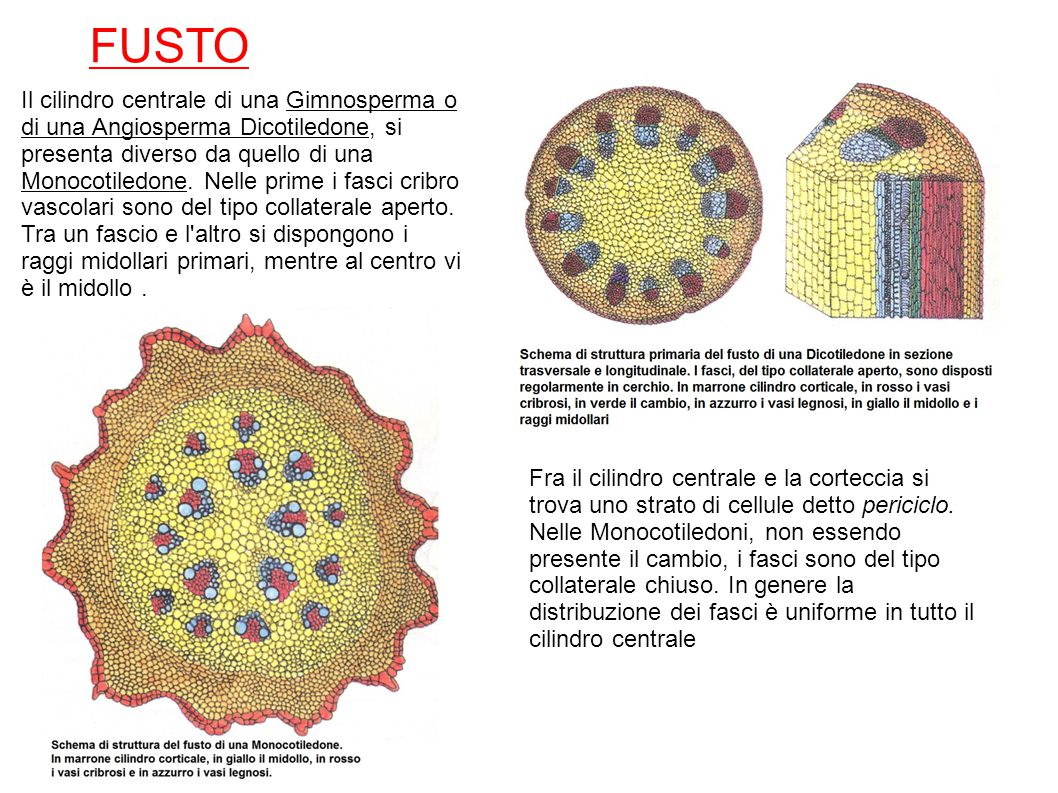 FUSTO Il cilindro centrale di una Gimnosperma o di una Angiosperma Dicotiledone, si presenta diverso da quello di una Monocotiledone. Nelle prime i fa