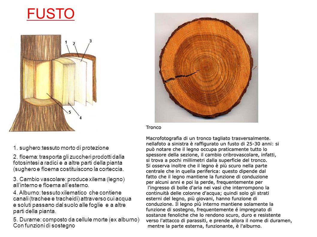 FUSTO 1. sughero:tessuto morto di protezione 2. floema: trasporta gli zuccheri prodotti dalla fotosintesi a radici e a altre parti della pianta (sughe