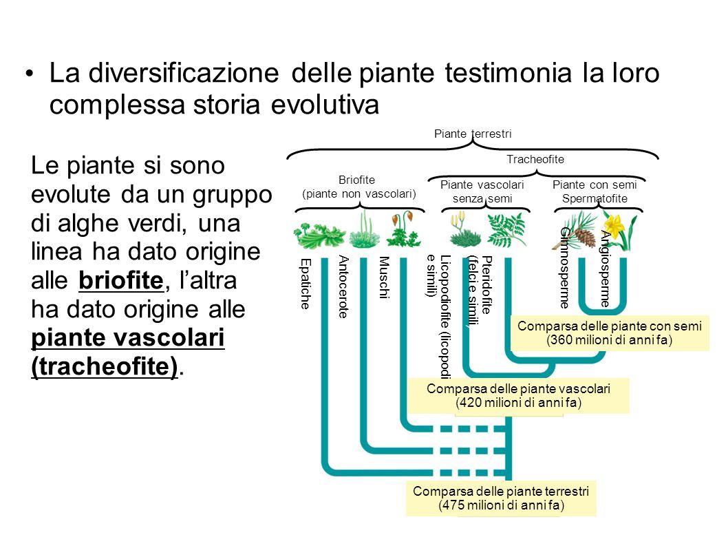 La diversificazione delle piante testimonia la loro complessa storia evolutiva Comparsa delle piante vascolari (420 milioni di anni fa) Comparsa delle
