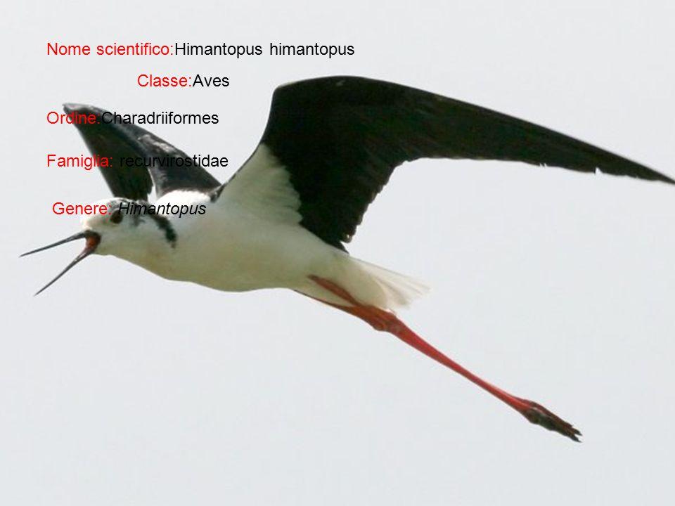 Nome scientifico:Himantopus himantopus Classe:Aves Ordine:Charadriiformes Famiglia: recurvirostidae Genere: Himantopus