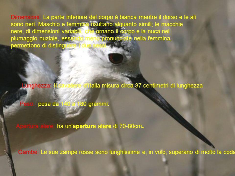 Apertura alare: ha un'apertura alare di 70-80cm. Peso: pesa da 140 a 180 grammi. Lunghezza: Il cavaliere d'Italia misura circa 37 centimetri di lunghe