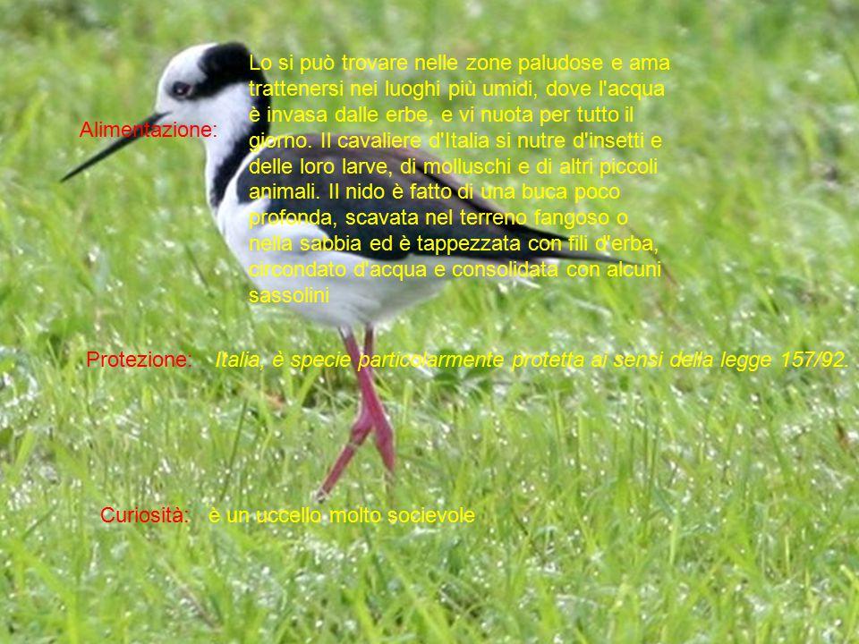 Alimentazione: Protezione: Curiosità: Lo si può trovare nelle zone paludose e ama trattenersi nei luoghi più umidi, dove l'acqua è invasa dalle erbe,