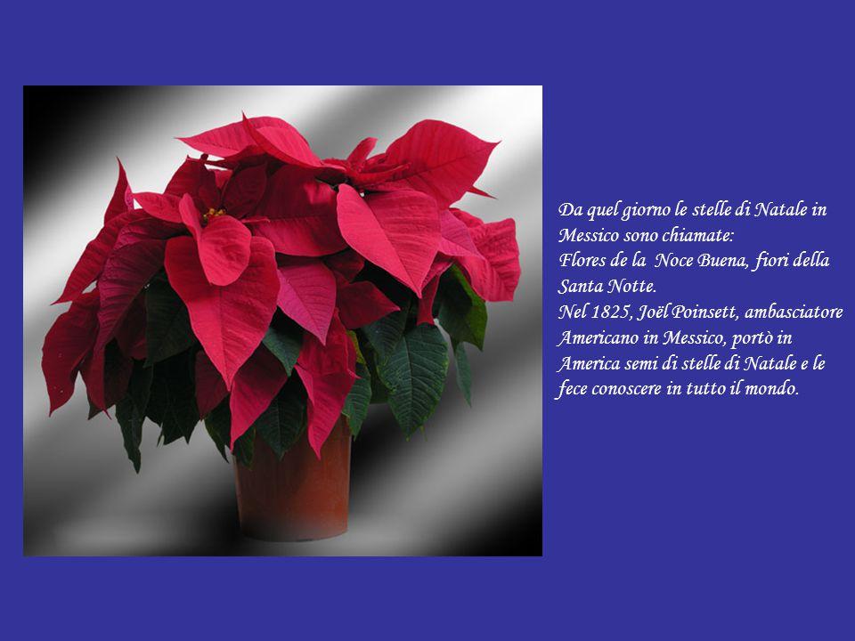 Da quel giorno le stelle di Natale in Messico sono chiamate: Flores de la Noce Buena, fiori della Santa Notte.