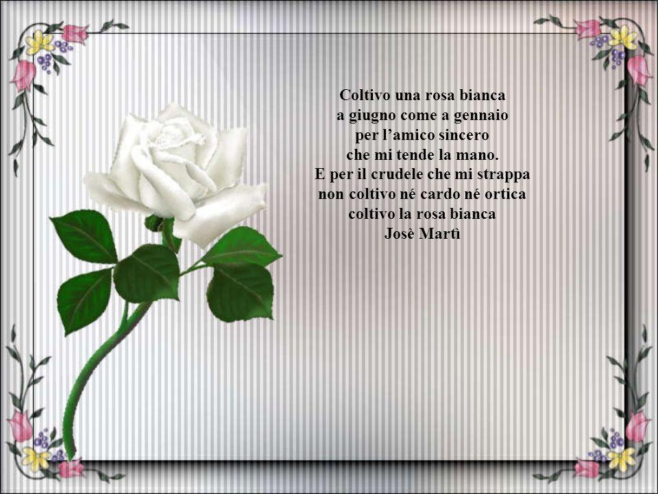 Coltivo una rosa bianca a giugno come a gennaio per l'amico sincero che mi tende la mano.