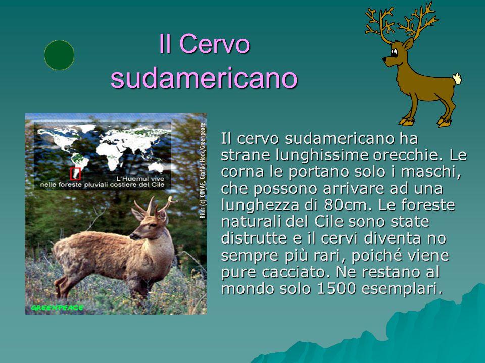 Il Giaguaro Il giaguaro è il più grande felino delle Americhe. Il suo territorio arriva a 30 Km per ogni singolo animale. Il giaguaro si nutre di rodi