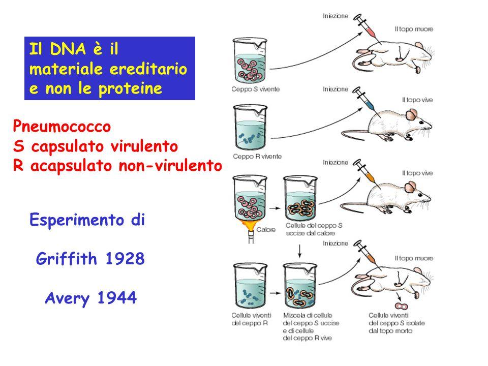 Il DNA è il materiale ereditario e non le proteine Pneumococco S capsulato virulento R acapsulato non-virulento Esperimento di Griffith 1928 Avery 194