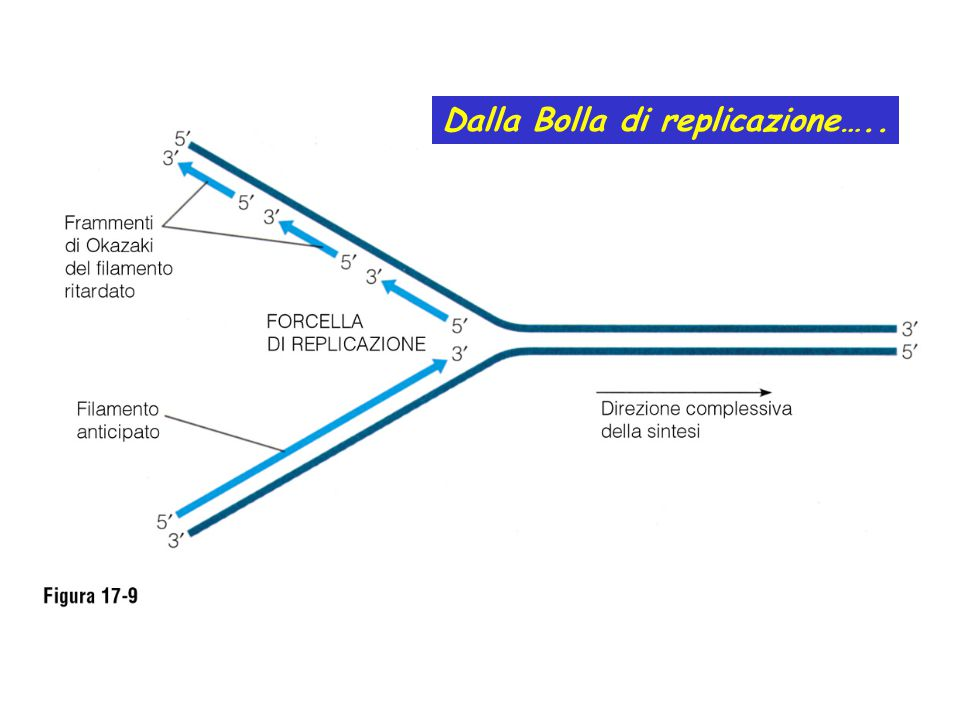 Dalla Bolla di replicazione…..