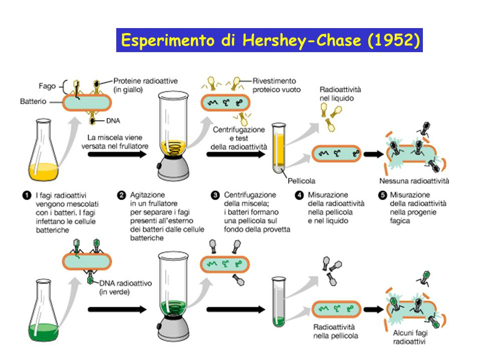 1953 ========== James Watson e Francis Crick deducono la struttura tridimensionale del DNA.