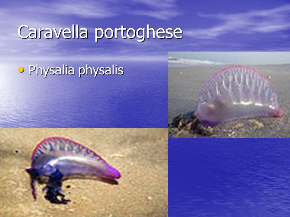 Caravella portoghese Physalia physalis Physalia physalis