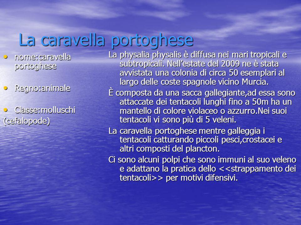 La caravella portoghese nome:caravella portoghese nome:caravella portoghese Regno:animale Regno:animale Classe:molluschi Classe:molluschi(cefalopode)
