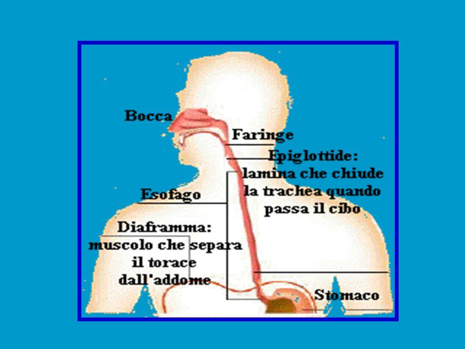 Large Intestine È LUNGO CIRCA 1,5 METRI