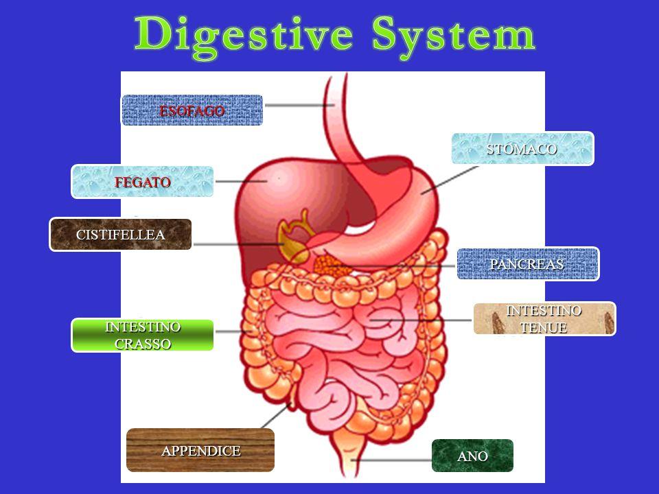 Answers verde: esofago rosso: stomaco rosa: intestino tenue marrone: intestino crasso viola: fegato verdone: cistifellea giallo: pancreas