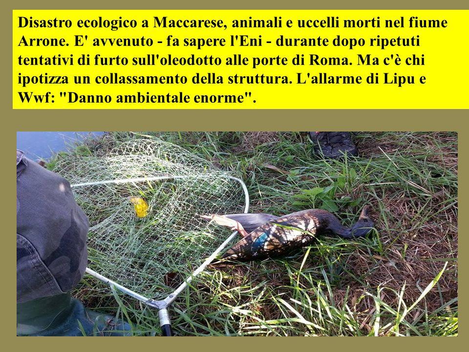 Disastro ecologico a Maccarese, animali e uccelli morti nel fiume Arrone. E' avvenuto - fa sapere l'Eni - durante dopo ripetuti tentativi di furto sul
