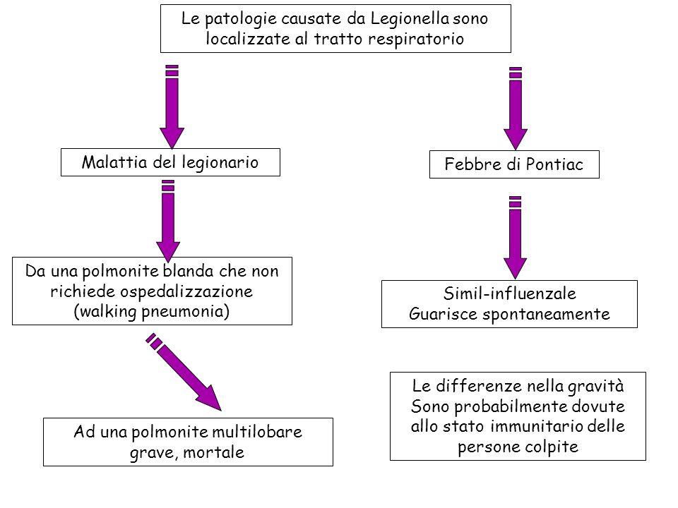Le patologie causate da Legionella sono localizzate al tratto respiratorio Malattia del legionario Febbre di Pontiac Da una polmonite blanda che non r