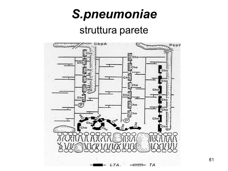 61 S.pneumoniae struttura parete
