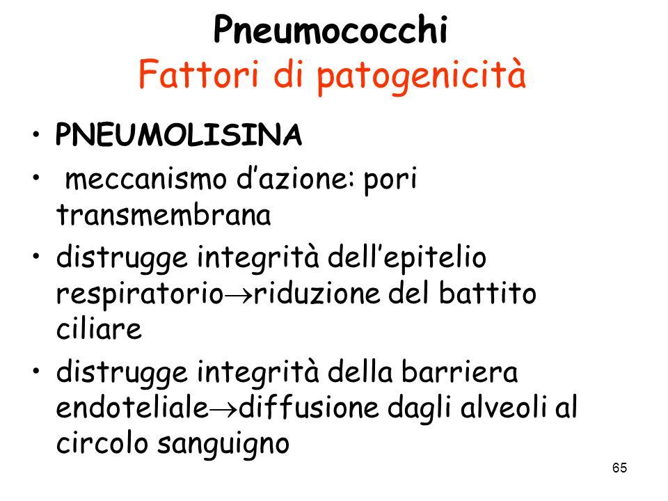 65 Pneumococchi Fattori di patogenicità PNEUMOLISINA meccanismo d'azione: pori transmembrana distrugge integrità dell'epitelio respiratorio  riduzion