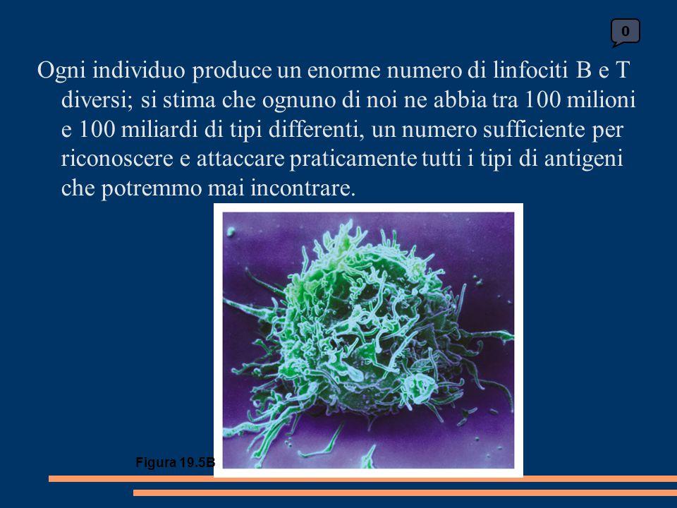 0 Figura 19.5B Ogni individuo produce un enorme numero di linfociti B e T diversi; si stima che ognuno di noi ne abbia tra 100 milioni e 100 miliardi