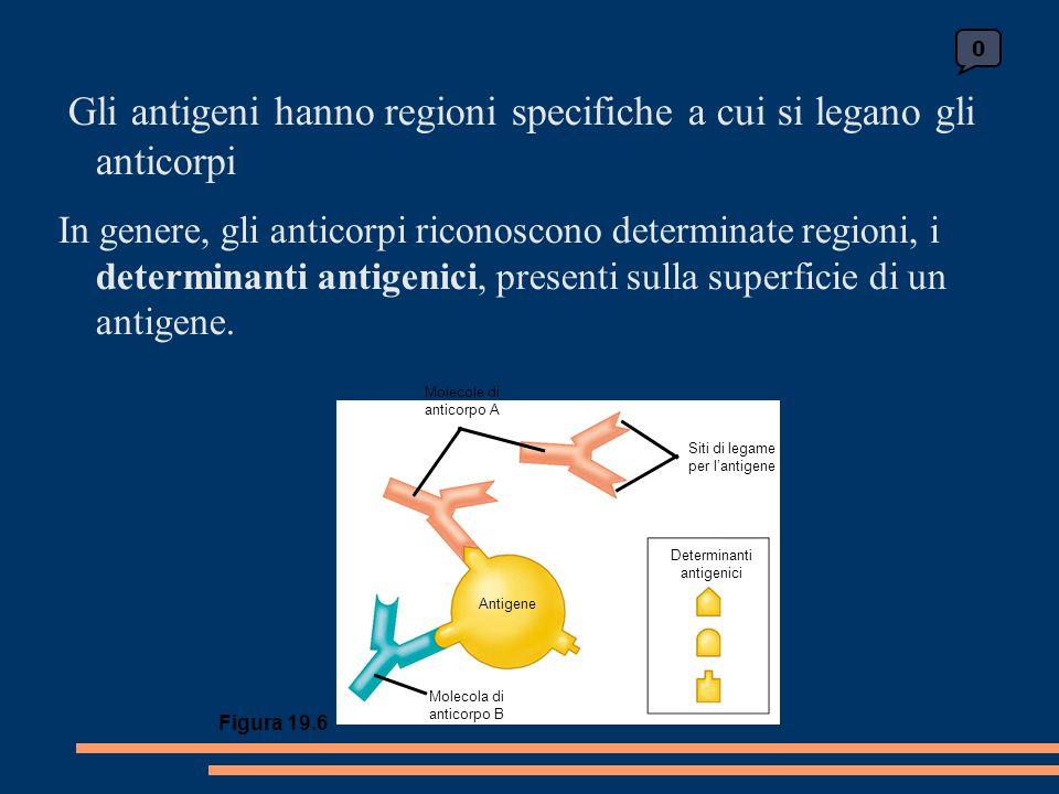 Gli antigeni hanno regioni specifiche a cui si legano gli anticorpi In genere, gli anticorpi riconoscono determinate regioni, i determinanti antigenici, presenti sulla superficie di un antigene.