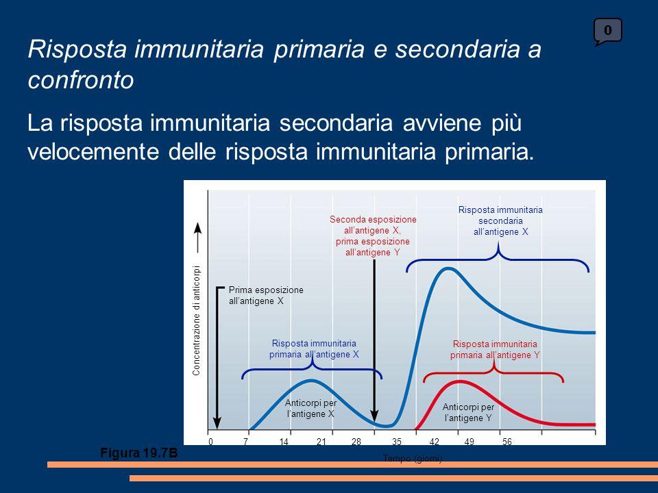 0 Seconda esposizione all'antigene X, prima esposizione all'antigene Y Prima esposizione all'antigene X Risposta immunitaria primaria all'antigene X Risposta immunitaria primaria all'antigene Y Anticorpi per l'antigene Y Anticorpi per l'antigene X Concentrazione di anticorpi 0 7 14 21 28 35 42 49 56 Tempo (giorni) Risposta immunitaria secondaria all'antigene X Figura 19.7B Risposta immunitaria primaria e secondaria a confronto La risposta immunitaria secondaria avviene più velocemente delle risposta immunitaria primaria.