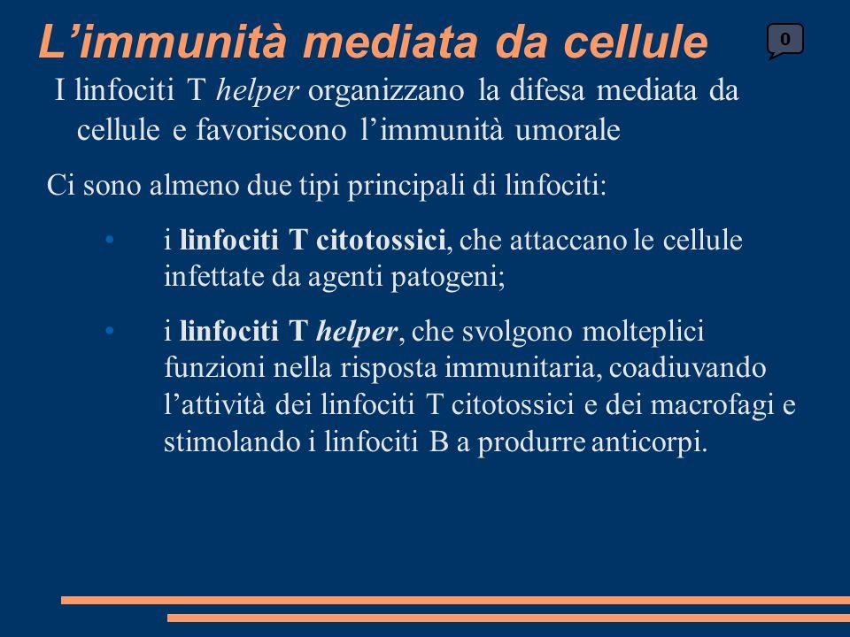 I linfociti T helper organizzano la difesa mediata da cellule e favoriscono l'immunità umorale Ci sono almeno due tipi principali di linfociti: i linf