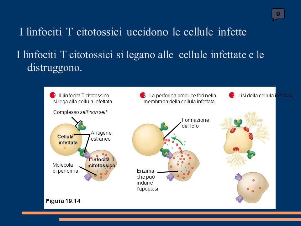 0 3 Lisi della cellula infettata 1 Il linfocita T citotossico si lega alla cellula infettata 2 La perforina produce fori nella membrana della cellula infettata Complesso self-non self Cellula infettata Linfocita T citotossico Molecola di perforina Antigene estraneo Enzima che può indurre l'apoptosi Formazione del foro Figura 19.14 I linfociti T citotossici uccidono le cellule infette I linfociti T citotossici si legano alle cellule infettate e le distruggono.