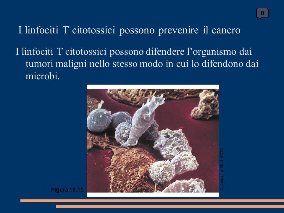 I linfociti T citotossici possono prevenire il cancro I linfociti T citotossici possono difendere l'organismo dai tumori maligni nello stesso modo in cui lo difendono dai microbi.