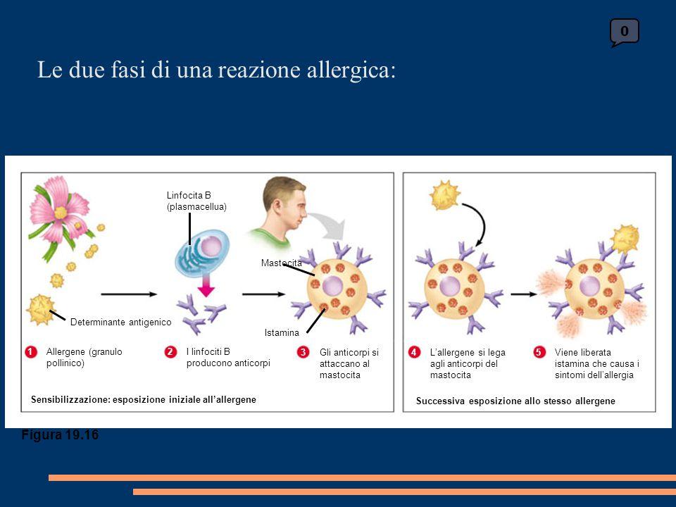 0 Figura 19.16 Linfocita B (plasmacellua) Determinante antigenico 1Allergene (granulo pollinico) 2I linfociti B producono anticorpi 3Gli anticorpi si attaccano al mastocita Sensibilizzazione: esposizione iniziale all'allergene Mastocita Istamina 4L'allergene si lega agli anticorpi del mastocita 5Viene liberata istamina che causa i sintomi dell'allergia Successiva esposizione allo stesso allergene Le due fasi di una reazione allergica: