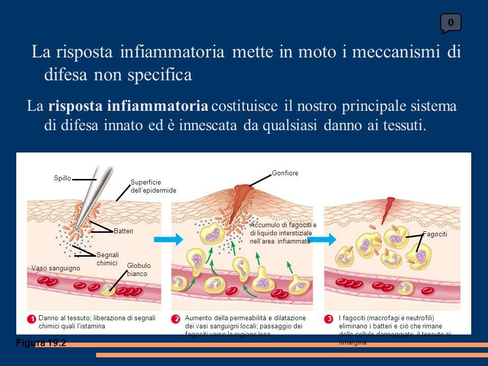 La risposta infiammatoria mette in moto i meccanismi di difesa non specifica La risposta infiammatoria costituisce il nostro principale sistema di difesa innato ed è innescata da qualsiasi danno ai tessuti.