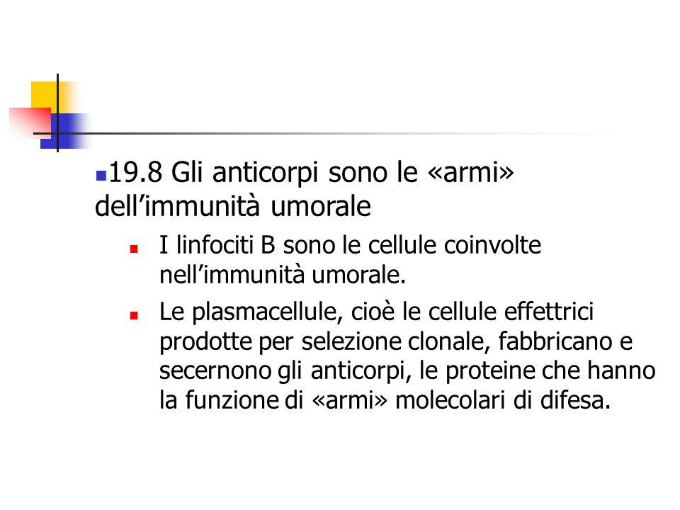 19.8 Gli anticorpi sono le «armi» dell'immunità umorale I linfociti B sono le cellule coinvolte nell'immunità umorale. Le plasmacellule, cioè le cellu