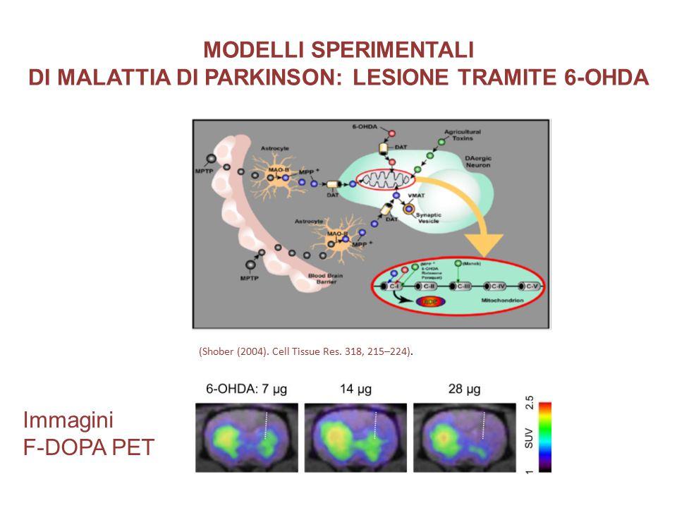 MODELLI SPERIMENTALI DI MALATTIA DI PARKINSON: LESIONE TRAMITE 6-OHDA (Shober (2004). Cell Tissue Res. 318, 215–224). Immagini F-DOPA PET