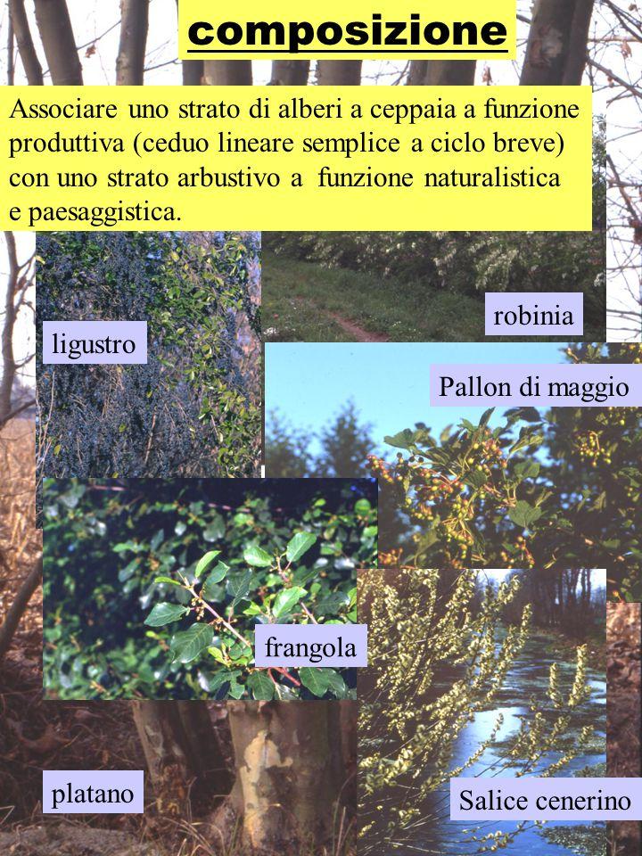 composizione platano robinia ligustro Pallon di maggio frangola Salice cenerino Associare uno strato di alberi a ceppaia a funzione produttiva (ceduo lineare semplice a ciclo breve) con uno strato arbustivo a funzione naturalistica e paesaggistica.