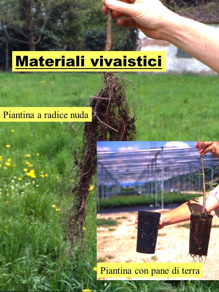 Materiali vivaistici Piantina a radice nuda Piantina con pane di terra